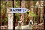 lambs-2-slaughter